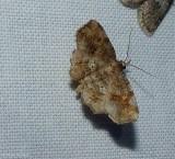 Decorated owlet moth  Pangrapta decoralis), #8490