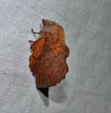 American lappet moth  (Phyllodesma americana)