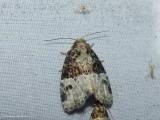 Noctuid moth (Neoligia crytora), #9410