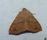 Red-lined panopoda moth (Panopoda rufimargo), #8587
