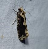 Scardia anatomella moth (Scardia anatomella), #0311