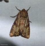Wood-coloured apamea moth  (Apamea lignicolora), #9333