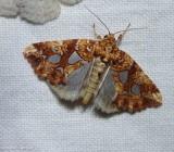 Silver-spotted fern moth  (Callopistria cordata), #9633