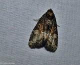 Noctuid moth (Neoligia subjuncta), #9412