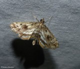 Obscure pondweed moth  (Parapoynx obscuralis), #4760