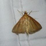 Streaked orange moth  (Nascia acutellus), #4937