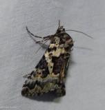 Salt and pepper looper moth  (Syngrapha rectangula), #8942