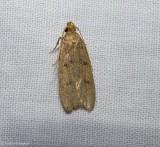 Twirler moth (Glyphidocera septentrionella), #1142