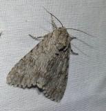 Large gray dagger moth (Acronicta insita), #9202