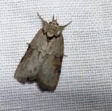 Frigid owlet moth (Nycteola frigidana), #8975