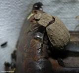 Hide beetle (Trox)