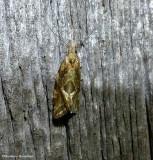 Geometer (or Inchworm)  moths (Geometridae) 6256 to 7648