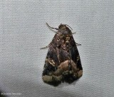 Black wedge-spot moth  (Homophoberia apicosa), #9057