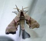 Sphinx Moths  (Sphingidae) 7787 to 7855