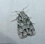 Delightful dagger moth (Acronicta vinnula), #9225