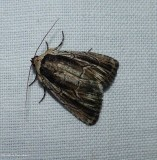 Brown-lined sallow moth (Sympistis badistriga), #10059
