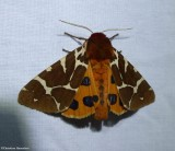 Moths (Lepidoptera)  (24 Galleries)