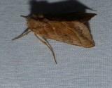 Dark-spotted looper moth  (Diachrysia aereoides), #8896