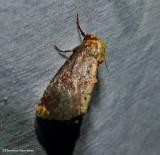 Elder shoot borer moth (Achatodes zeae), #9520