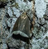 Curved halter moth  (Capis curvata), #9059