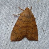Dotted sallow moth  (Anathix ralla), #9961