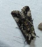 Abstruse Looper moth (Syngrapha abstrusa), #8940