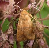 Moths of Larose Forest