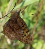 Fritillaries (Nymphalidae:  Subfamily: Heliconiinae)