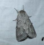 Owlet Moths (Family: Noctuidae)  8420 - 11043