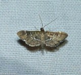 Crambid snout moth (Diathrausta sp.)