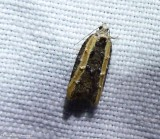 Leafroller moths (Family: Tortricidae) 2753 to 3825
