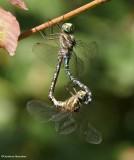 Dragonflies and Damselflies  (Odonata) of Larose Forest