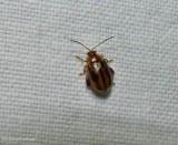 Skeletonizing Leaf and Flea Beetles (Family: Chrysomelidae, Subfamily:  Galerucinae)