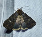 Dusky groundling moth (Condica vecors), #9696