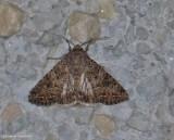 The nutmeg moth (Anarta trifolii), #10223