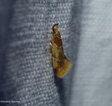 Rrange-headed epicallima moth  (Epicallima argenticinctella), #1046