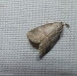 Dotted graylet moth (Hyperstrotia pervertens), #9037