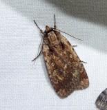Attentive dart moth  (Eueretagrotis attentus), #11009