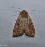 Ruby quaker moth (Orthosia rubescens), #10487