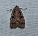 Two-spot dart moth (Eueretagrotis perattentus), #11008