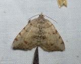 Geometrid moth (Macaria exauspicata), #6292