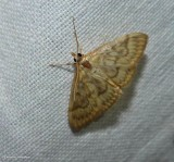 Pyralid and Crambid Snout Moths (Superfamily:  Pyraloidea):  4716 - 6019