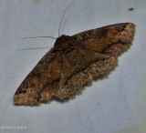 Colouful zale moth