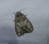 Maple dagger moth (Acronicta retardata), #9251