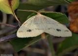 Currant spanworm moth  (Macaria ribearia),  #6274