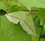 Confused eusarca moth (Eusarca confusaria) , #6941