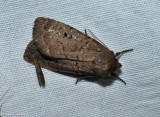 Double dart moth (Graphiphora augur), #10928
