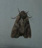 Speckled cutworm moth (Lacanobia subjuncta), #10299