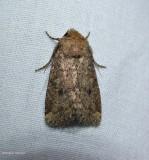 Northern scurfy quaker moth (Homorthodes furfurata), #10532