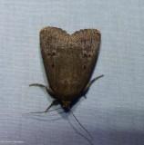 Smooth amphipyra moth  (Amphipyra glabella),  #9640